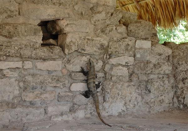 San Gervasio iguana