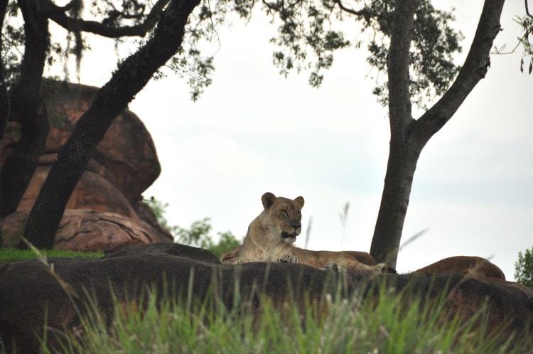 Wild Africa Trek Lion