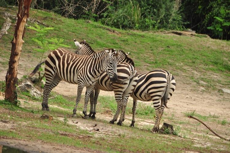 Wild Africa Trek Zebras