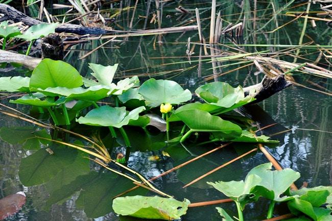 boggy creek gator