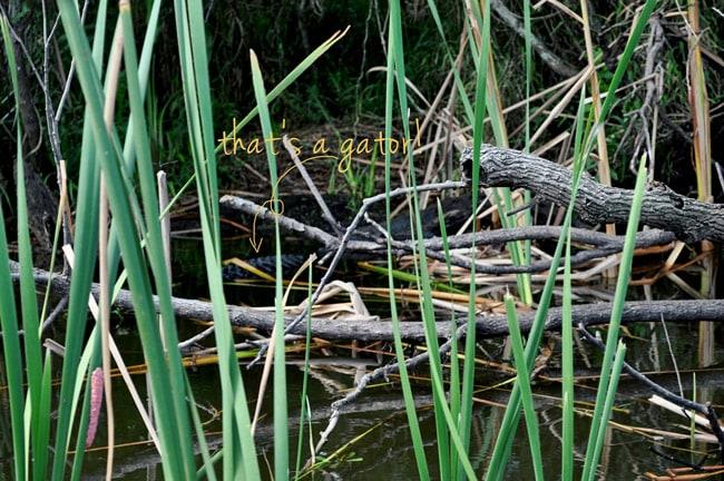 boggy creek alligator