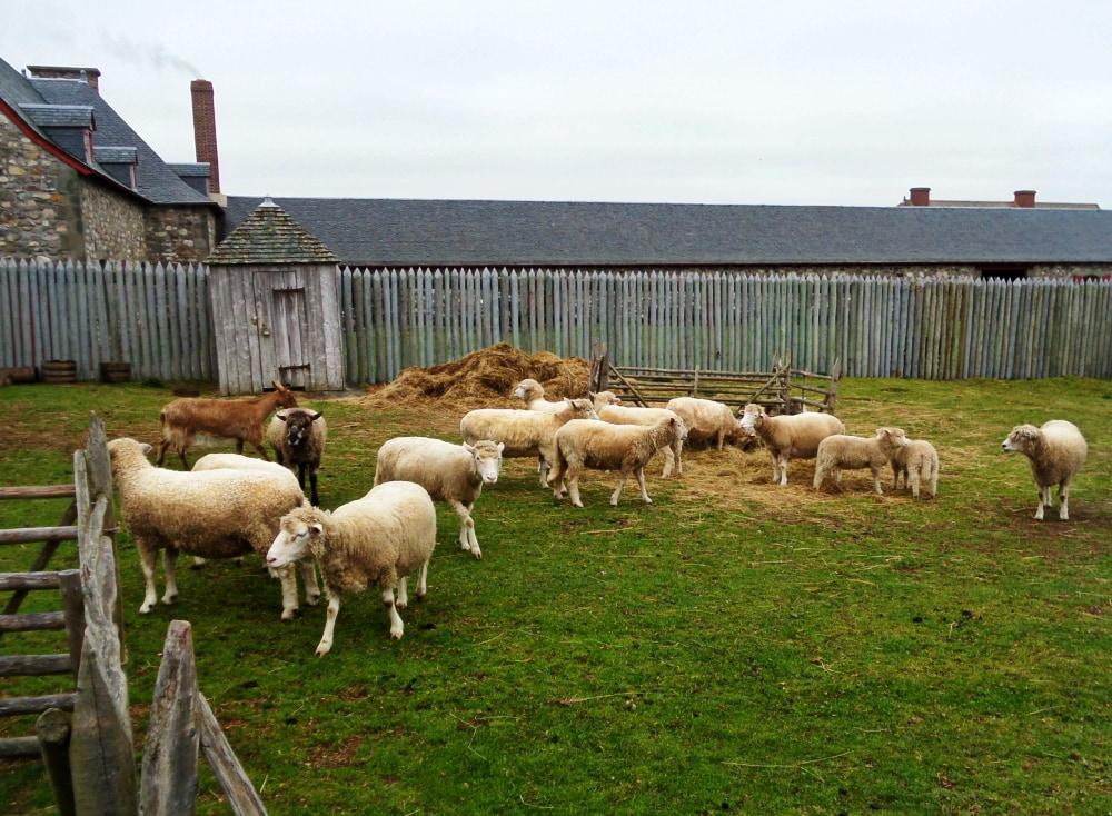 Fortress of Louisbourg sheep