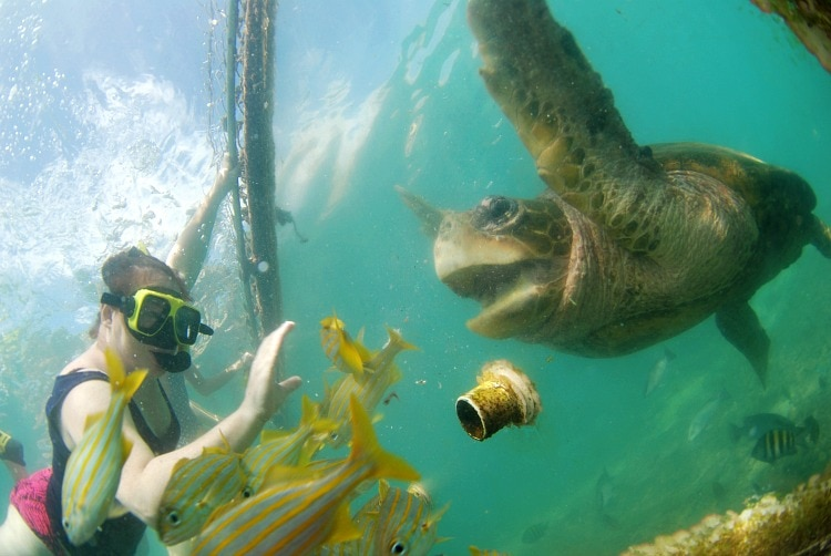 turtle feeding curacao