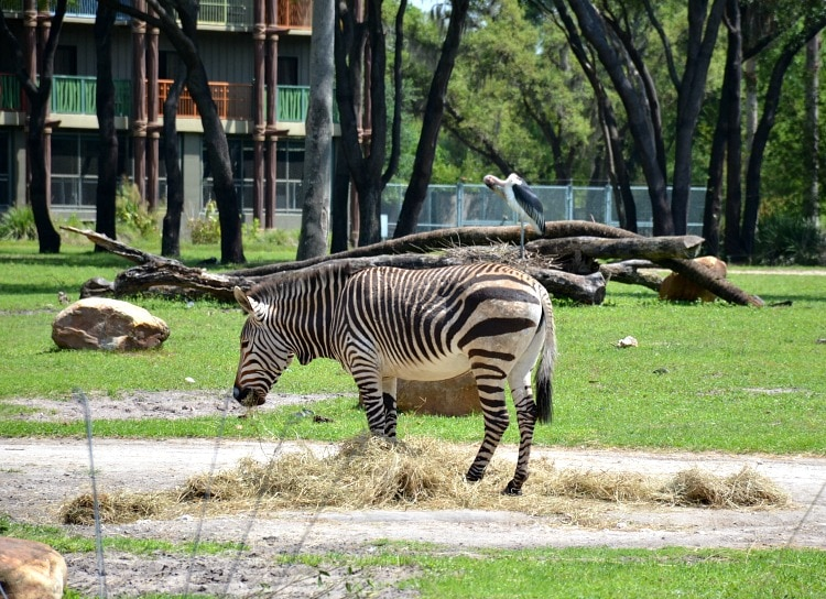 zebra-kidani-village