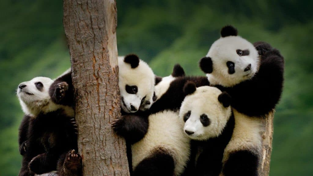Chengdu Panda Base The Wonderland For Panda Lovers