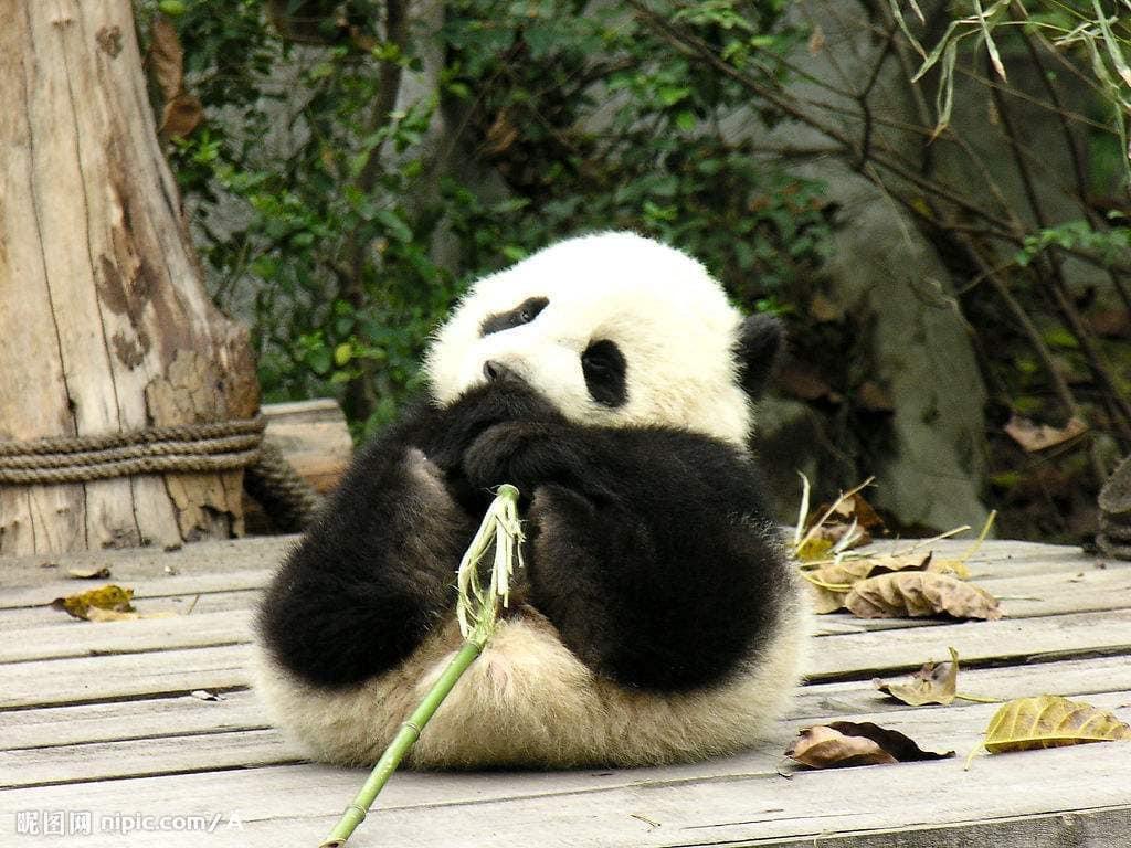 Cute giant pandas