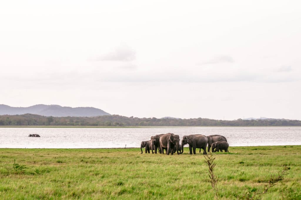 Wild Elephant Safari at Minneriya National Park in Sri Lanka