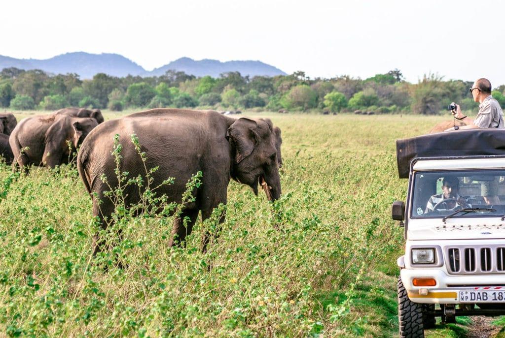 Elephant herd Minneriya National Park Sri Lanka