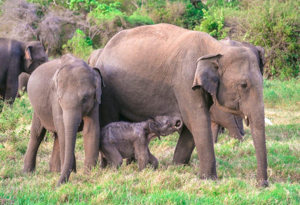 elephant mother baby sri lanka