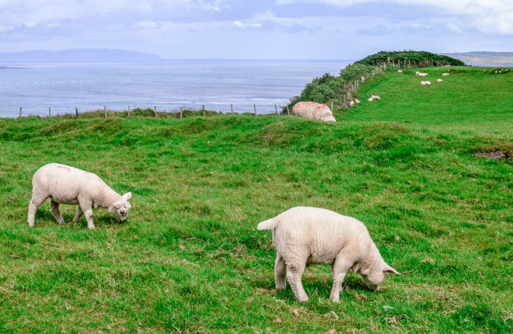 Portaneevey cliffs sheep
