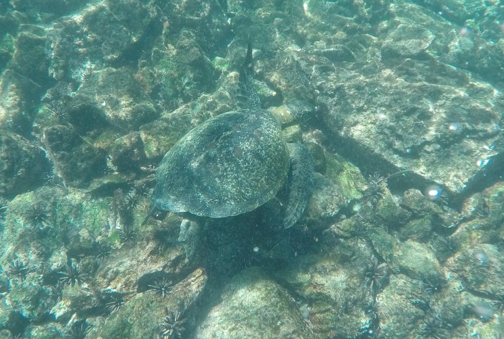 Galapagos cruise sea turtle snorkeling
