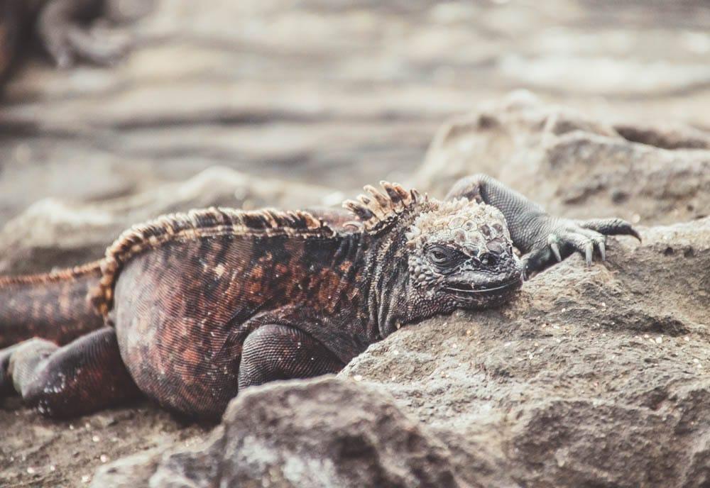 Galapagos cruise marine iguana