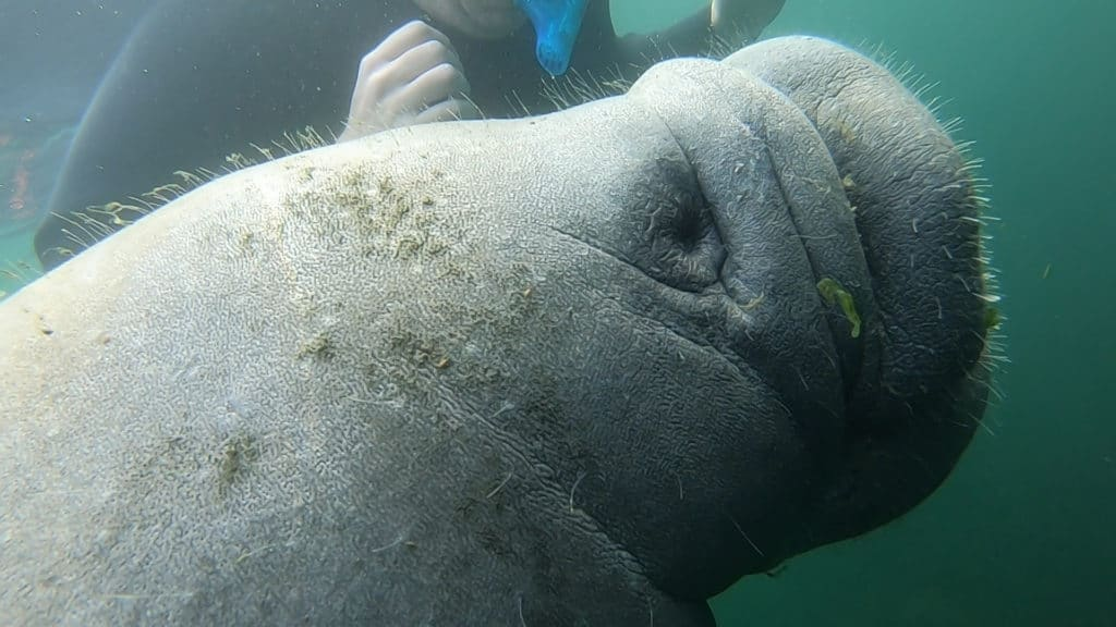 snorkeling with manatees plantation on crystal river