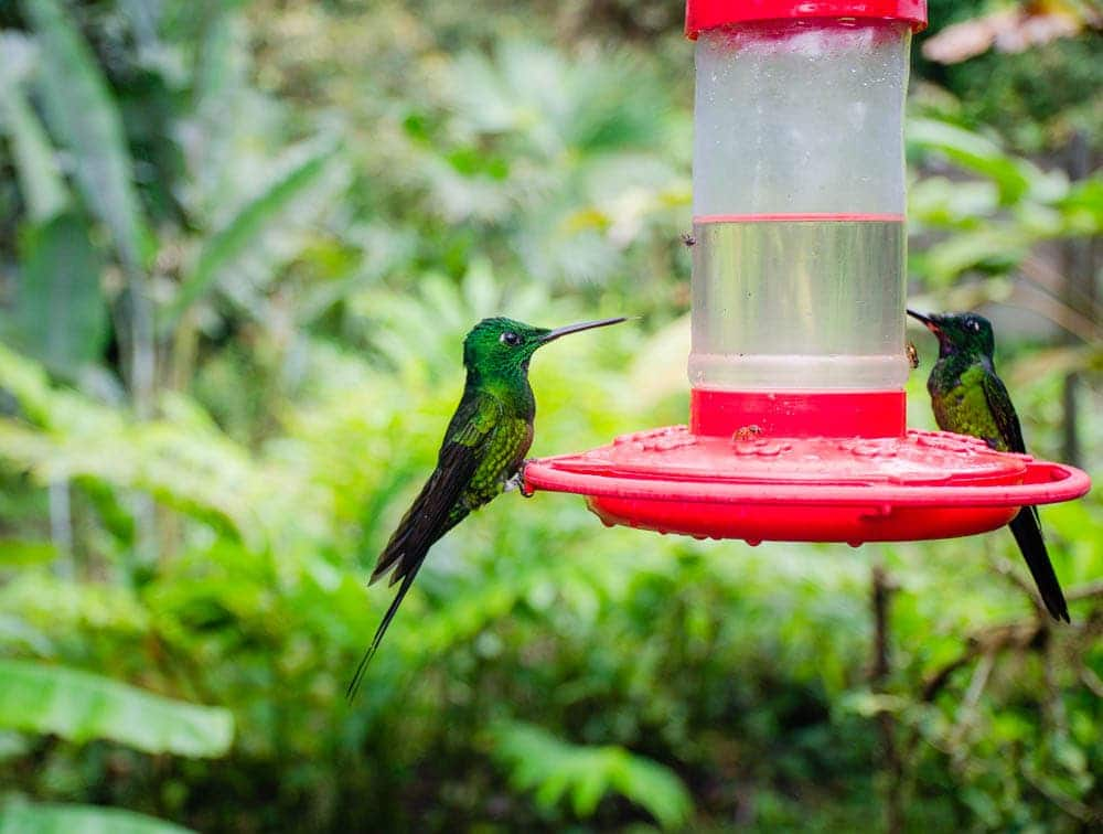 mashpi lodge hummingbirds