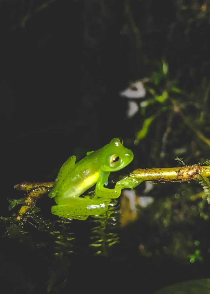 Mashpi lodge night hike glass frog