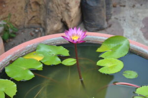 Lotus Flower Thailand