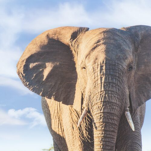 African elephant on South Africa safari