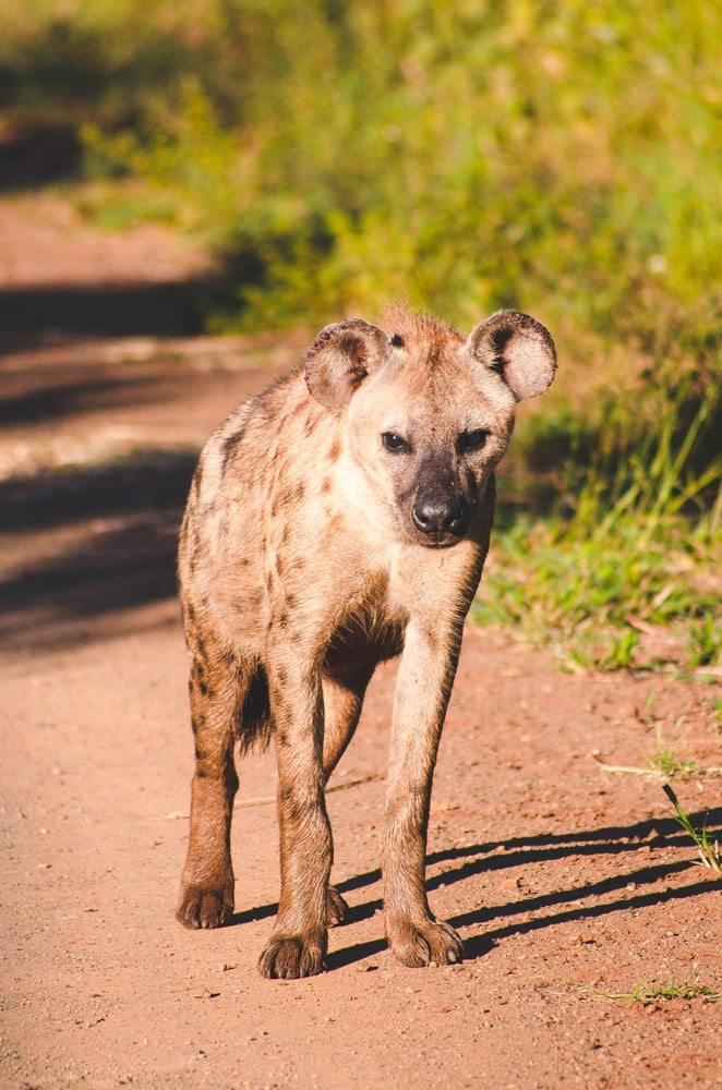South Africa hyena