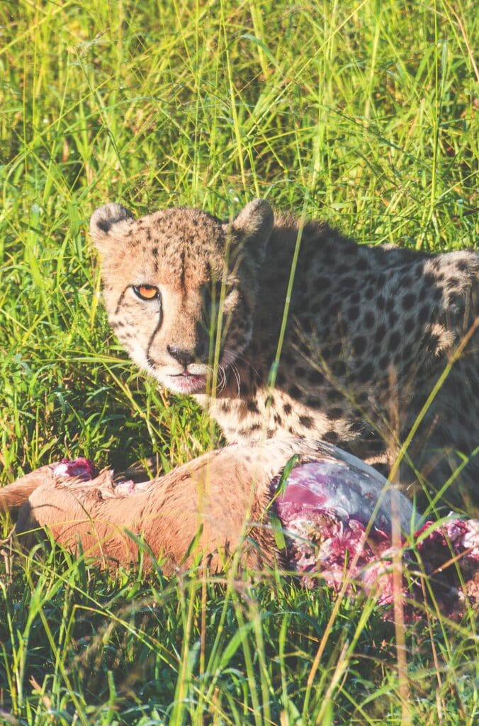 cheetah eating her prey at thanda safari south africa