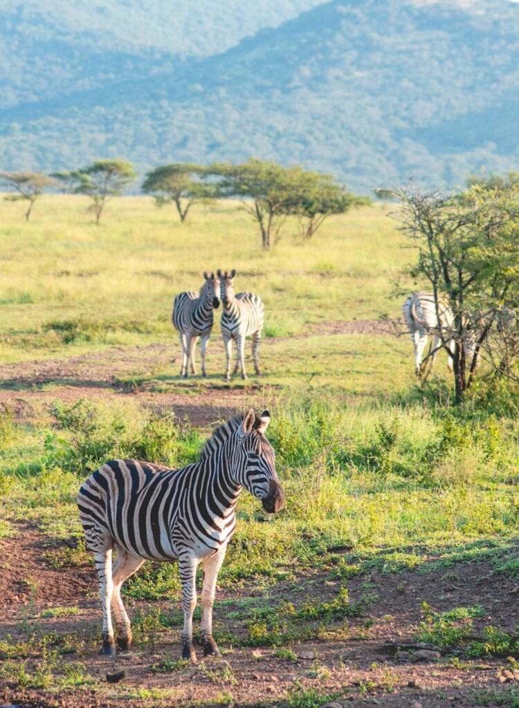 zebras on private game reserve south africa